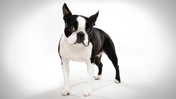 Breed-Love-Boston-Terrier.jpg