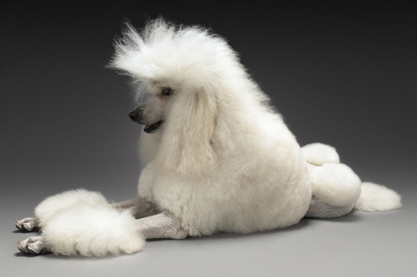 Breed-Focus-Poodle.jpg