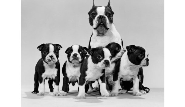 Boston-Terrier-bitch--pups.jpg